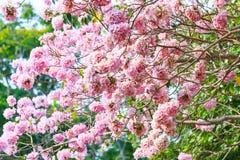 Pink trumpet flower or tatebuia rosea Stock Photography