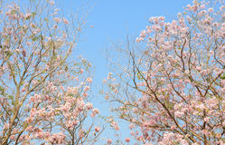 Pink trumpet Tabebuia tree Royalty Free Stock Photography