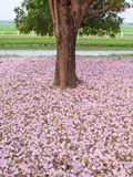 Pink trumpet tree Stock Photos