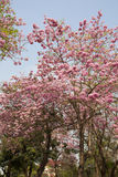 Pink Trumpet Tree Royalty Free Stock Image