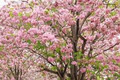 Pink trumpet tree. Royalty Free Stock Photo