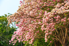 Pink Trumpet tree Stock Photo