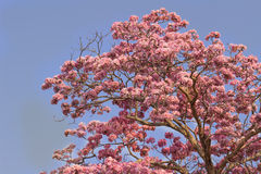 Pink trumpet tree flower blooming Royalty Free Stock Photos