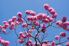 Pink trumpet tree and flower Stock Images