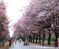 Pink trumpet tree  flower blossom. Nakhon Pathom, Thailand - April 17,2017: Seasonal  Pink trumpet tree  flower blossom.On the road and park  in Kasetsart Stock Images