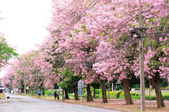 Pink trumpet tree  flower blossom. Nakhon Pathom, Thailand - April 17,2017: Seasonal  Pink trumpet tree  flower blossom.On the road and park  in Kasetsart Royalty Free Stock Photo