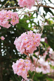 Pink trumpet tree  flower blossom. Nakhon Pathom, Thailand - April 17,2017: Seasonal  Pink trumpet tree  flower blossom.On the road and park  in Kasetsart Stock Photos