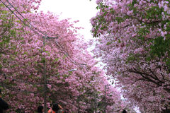 Pink trumpet tree  flower blossom. Nakhon Pathom, Thailand - April 17,2017: Seasonal  Pink trumpet tree  flower blossom.On the road and park  in Kasetsart Royalty Free Stock Images