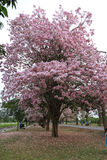 Pink trumpet tree  flower blossom. Nakhon Pathom, Thailand - April 17,2017: Seasonal  Pink trumpet tree  flower blossom.On the road and park  in Kasetsart Stock Photo