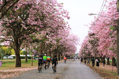 Pink trumpet tree  flower blossom. Nakhon Pathom, Thailand - April 17,2017: Seasonal  Pink trumpet tree  flower blossom.On the road and park  in Kasetsart Stock Image