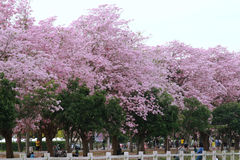 Pink trumpet tree  flower blossom. Nakhon Pathom, Thailand - April 17,2017: Seasonal  Pink trumpet tree  flower blossom.On the road and park  in Kasetsart Stock Photography