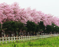 Pink trumpet tree  flower blossom. Nakhon Pathom, Thailand - April 17,2017: Seasonal  Pink trumpet tree  flower blossom.On the road and park  in Kasetsart Royalty Free Stock Photography