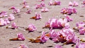 Pink trumpet tree flower fall on road under morning sunlight. Handhold stock video