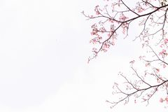Pink trumpet tree. Flowers are blooming beautiful. stock photo