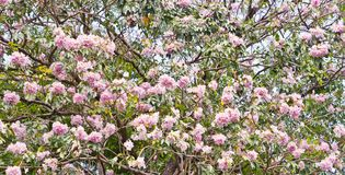 Pink trumpet tree Stock Images