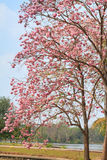 Pink trumpet tree Royalty Free Stock Photo