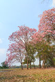 Pink trumpet tree Stock Photo