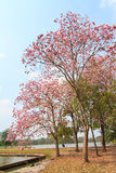 Pink trumpet tree Royalty Free Stock Photos