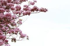 Pink trumpet tree. Or Tabebuia rosea Royalty Free Stock Image