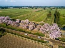 Pink trumpet tree Tabebuia rosea blossom in Kamphangsean, Nakorn Stock Images