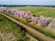 Pink trumpet tree Tabebuia rosea blossom in Kamphangsean, Nakorn Royalty Free Stock Images