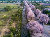 Pink trumpet tree Tabebuia rosea blossom in Kamphangsean, Nakorn Stock Image