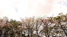 Pink trumpet tree Royalty Free Stock Image