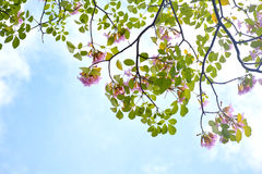 Pink trumpet tree Royalty Free Stock Images