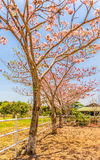 Pink Trumpet Trees Royalty Free Stock Photo