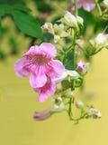 Pink Trumpet Vine flower Stock Photo