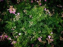 Pink Pink Trumpet Vine Flowers Blooming