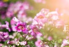 Pink Trumpet Vine in garden Royalty Free Stock Photos