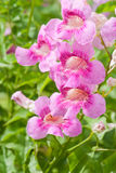 Pink Trumpet Vine, Pododranea Ricasoliana Royalty Free Stock Images