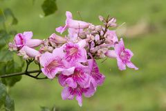 Pink Trumpet Vine, Pododranea Ricasoliana Stock Images