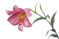 Pink tubular lily isolated on a white Royalty Free Stock Photography