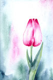 Pink Tulip. Watercolour painting on artist paper, created and painted by the photographer Royalty Free Stock Photos