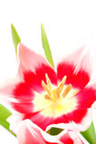 Pink tulip Stock Images
