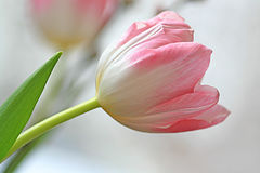 Pink tulip Stock Photos