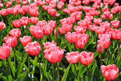 Pink tulip. Field of flowers royalty free stock image
