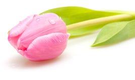 Pink Tulip Royalty Free Stock Photo
