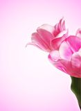 Pink tulip Stock Photos