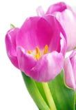 Pink tulip. Beautiful pink tulip on white background Royalty Free Stock Image