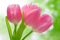 Pink  tulip. On green natural background Royalty Free Stock Image