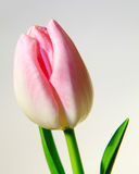 Pink Tulip Royalty Free Stock Photo