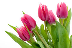 Pink tulip Stock Photo