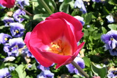 PINK TULIP. A single red/pink Tulip in front of multiple purple Pansies, with yellow centres. Visible pollen, stamen & stigma in the tulip. Location: Tasmania royalty free stock photo