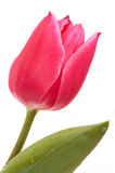 Pink tulip. Close up on white Stock Images
