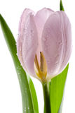 Pink Tulip Royalty Free Stock Image