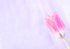 Pink tulip on the abstract blurred background. With copy space Royalty Free Stock Images