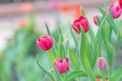 Pink tulip Royalty Free Stock Images